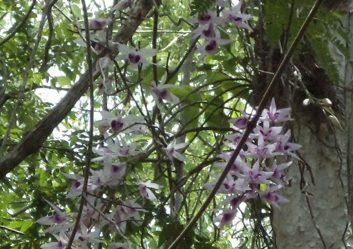 Le jardin d'orchidées sauvages de Troh Bu