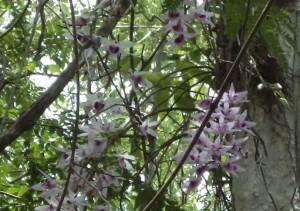 Troh Bu Orchidée Vietnam